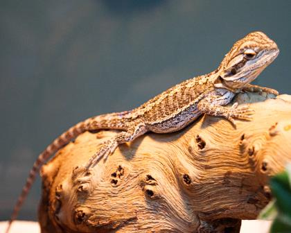 Are you ready to be the mother or father of dragon? Or, on a much kinder, smaller scale, the parent to a young bearded dragon? Rhaegal is a young beardie who's available for adoption at the SPCA! #winterishere pic.twitter.com/kSspCxVulB