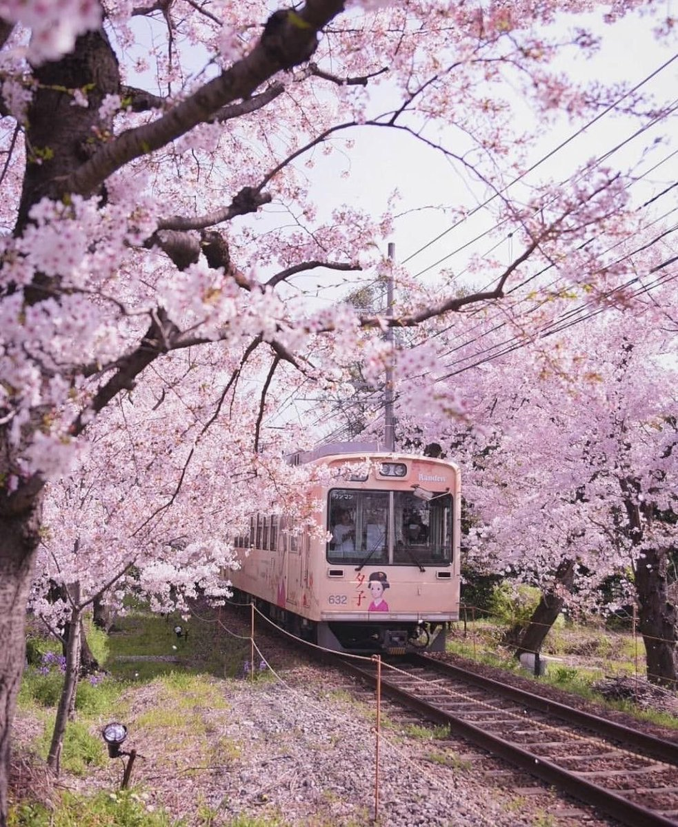 Cherry blossom in Japan 🌸