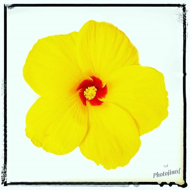 Yellow hibiscus number three.  This is the last piece for now, of my scheduling/photo-mosaic experiment.  Like if you like it? Comment or DM if you would like to be featured in something like this.  #phoneographer #phoneart #phoneography #photomosaic #ph… http://bit.ly/2v8mSqqpic.twitter.com/VhFzDm6p8s
