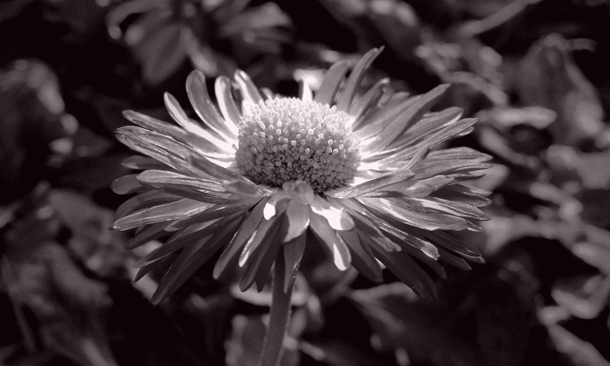 #Flower #blackandwhite #monochrome #photo #photography #picture #image