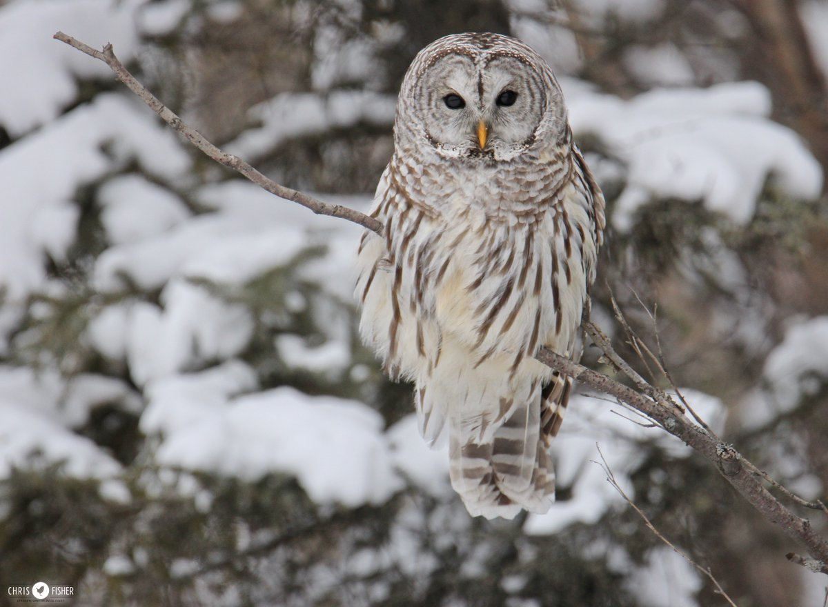 An unexpected daytime encounter with a Barred Owl is a once-in-a-decade thrill for most #Alberta birders. Today's thaw may have contributed to this one foraging alongside a wide ditch. Thankfully it gave a great and calm showing.<br>http://pic.twitter.com/bC2RFNi58q