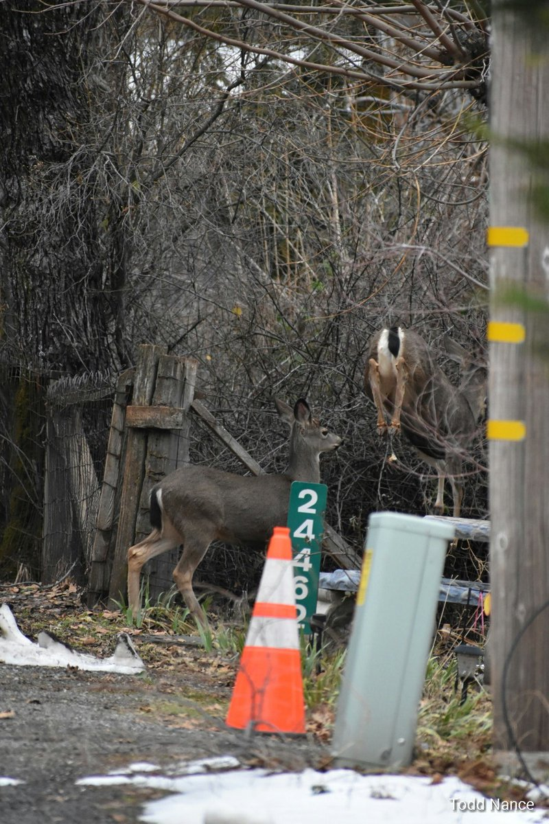 @kcraFinan lucky capture as the one deer jumped the fence in Foresthill January 20th pic.twitter.com/YCnI3eyDFe