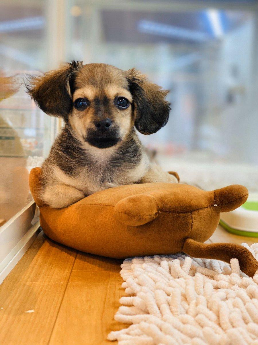 #チワックス #チワダ #ミックス犬 #いぬ #dog #ペットショップ #広島 #ポートレート