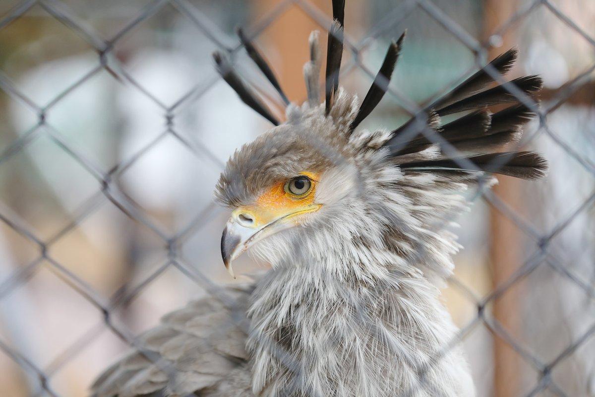 掛川花鳥園のヘビクイワシ3月に命名式が行われる予定の名前がまだない美人さん