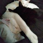 Image for the Tweet beginning: 本日13時~『マダムひな子』です🔮 本日→ご予約のみ  🌸22水→通常在室 🌸23木24金→ご予約のみ 🌸25土→通常在室  ご予約は 待ち時間のご心配ありません☺️  時間確認など お問合→09019122290📲 お気軽に  #黒猫 #blackcat #白猫 #whitecat (ФωФ)(ФωФ)(ФωФ) 白さん達は手足長い系にゃんこ💕 にょき🎵
