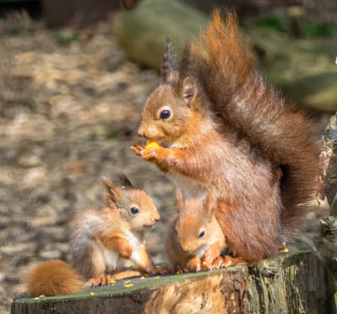 Pensthorpe Conservation Trust works with members of the East Anglian Red Squirrel Group and coordinates the squirrels, supporting captive breeding for release projects. We have cared for Red Squirrels for over 20 years! #SquirrelAppreciationDay @RedSquirrelsNE @RedSquirrelsUtd