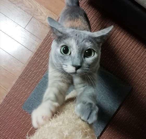 まさに見た目が「イカ」!! 猫のイカ耳の理由と画像をご紹介します|ねこのきもちWEB MAGAZINE https://cat.benesse.ne.jp/withcat/content/?id=63284…