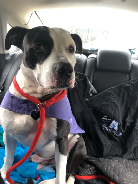 Adoptable #Dog #Rio_SCRMCA_06 He is quiet and calm in the car