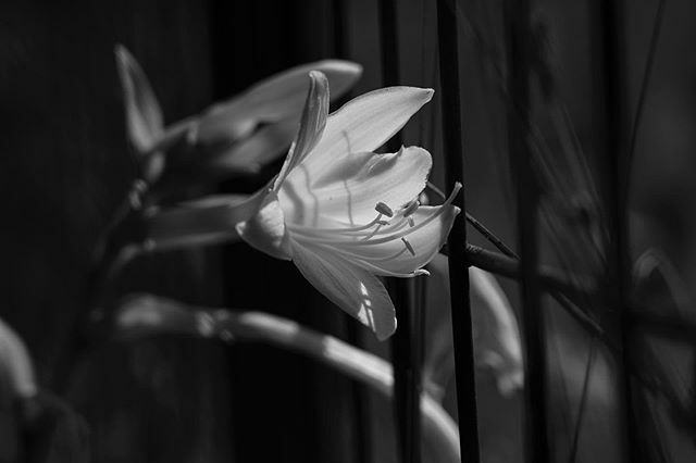 Just because i love...white flowers! #sonyalpha #sony #camera #white #flowers #flowerstagram #blackandwhite #tbt #light #passion #create #createeveryday #love #photography #emmazeicescu https://ift.tt/2ugXiPu pic.twitter.com/rfmerxKW42