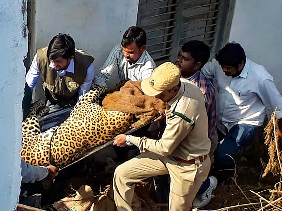 Telangana: Leopard takes nap at Shadnagar house, tranquillized and sent to zoo Read: http://toi.in/pjAZra/a24gk