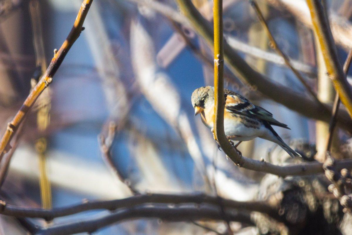 Hallo #Bergfink ! Willkommen hier in #Freiburg. Die Finken brüten in Skandinavien und sind im Winter in Mitteleuropa unterwegs. Ein Weibchen?pic.twitter.com/STSbveXfb9