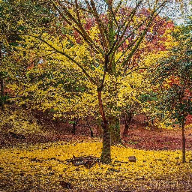 Beautiful Japanese Maple tree in Nara Park .... .... .... .... #post769 #cordtripper #asia #japan #nara #maple #tree #foliage #leaves #autumn #landscape #nature #scenic #traveling #travelcontent #travelphotography #stamped #artofvisuals #exploringtheglobe #wanderlust #travel…pic.twitter.com/EXCHYu7vaS