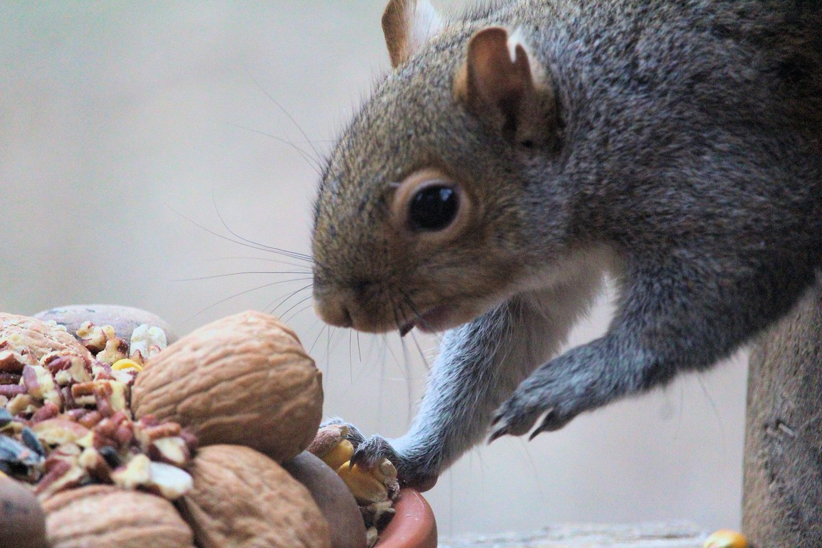 """""""This is an awfully large treat, BUT believe me, I will fit it in my mouth!""""  #squirrel #squirrelfeeding #easterngreysquirrel #squirrelphoto #squirrellove #squirrelphotography #nature #naturephotography #wildlife #wildlifephotography #wildlife_shots #photographypic.twitter.com/RT9LqIqViH"""