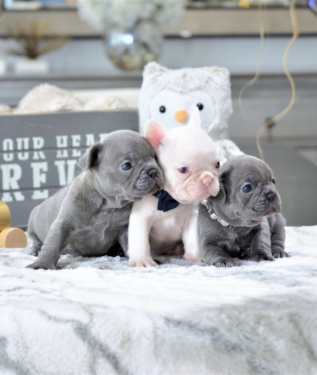 """Life is better with Frenchies""  Visit us at  http://www.PoeticFrenchBulldogs.com  . . . . . #frenchbulldog #frenchbulldogpuppies #frenchbulldogs #frenchbulldogsofinstagram #frenchiestagram #dog #frenchies #cutest #dogsofinstagram #pups #pupsofinstagram #puppylove #puppies #bulldogpic.twitter.com/lkI2BC7qeb"