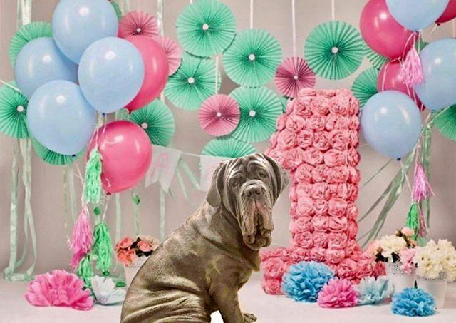 Guess whose birthday it is?? Happy birthday Juno!  . . . #birthday #oneyearold #neapolitanmastiff #mastinonapoletano #italianmastiff  #neosofinstagram #neapolitanmastiffsworldwide #neapolitanmastifflovers #neapolitanmastiffs #mastiffgram #bigdogs… https://ift.tt/393IWkxpic.twitter.com/tKUWME8A38
