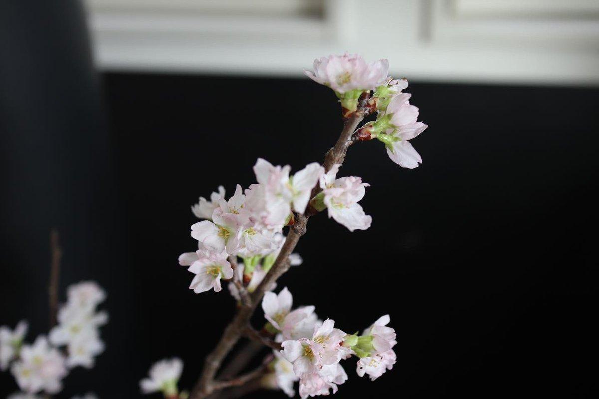 節分も終わり、今日は立春です。 新しいスタートですね。  先日行った花と緑のココロ博 で桜が売っていました。 とても新鮮なお花が揃っていたので、春っぽいお花を購入しました😊  #flowers  #花と緑のココロ博  #桜 #極楽鳥花  #小手鞠 #花のある暮らし  #立春 #写真好きな人と繋がりたい  #eosm100