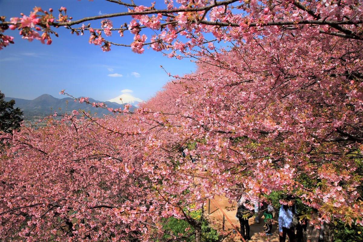 Matsuda Cherry Blossom Festival will be held soon! Do you know early-blooming cherry blossoms called #Kawazuzakura? From mid-February through early March, You can enjoy an astounding view of Mount Fuji and #Cherry Blossoms at Nishihirabatake Park.  https://trip.pref.kanagawa.jp/destination/matsuda-cherry-blossom-festival-in-nishihirabatake-park-cherry-blossoms/441 …pic.twitter.com/rW6kXLm2Ta