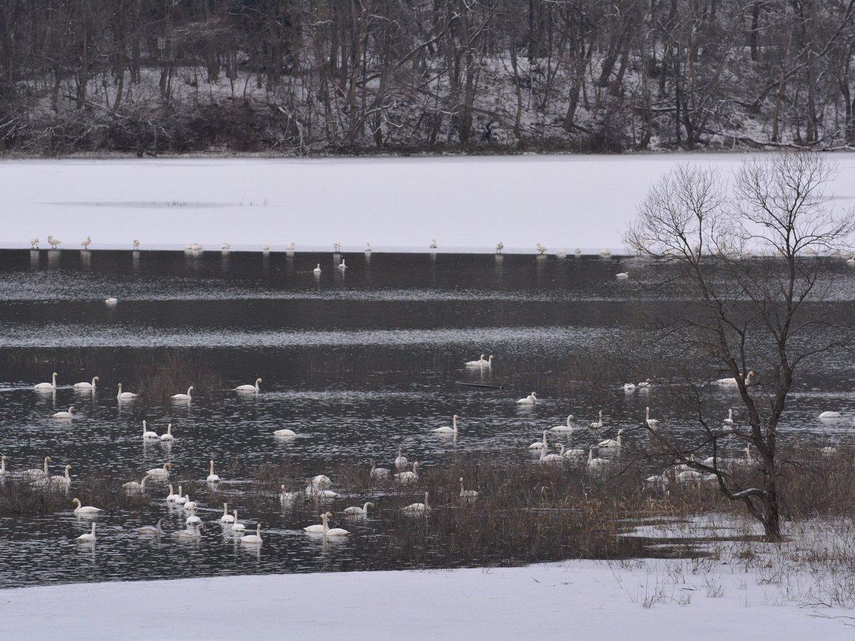 越冬場所には向かず例年だと静かなダム湖  今年は既に渡りの中継地として混雑中  2020/02/04 撮影   #岩手 #盛岡 #北上川 #野鳥 #白鳥 #オオハクチョウ #wildbird #swan #nikond7100 #tamron