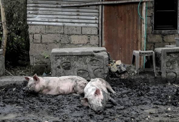 Penyakit misteri landa Bali, lebih seribu babi mati #AWANInews  #AWANI745   http://www.astroawani.com/berita-dunia/penyakit-misteri-landa-bali-lebih-seribu-babi-mati-229816  …