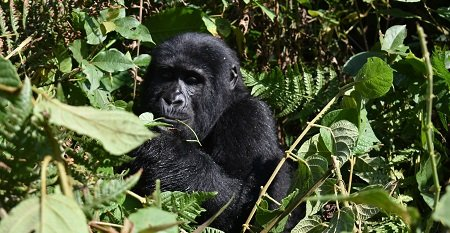Have you ever thought of visiting #Rwanda and #Uganda on a single safari, why not experience #GorillasafariUganda and #GorillasafariRwanda from these two awesome countries located in the heart of Africa. via: info@kjongsafarisuganda.com https://t.co/kIiqCJEF37 https://t.co/WTGWfLAqbt