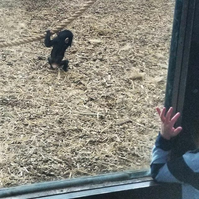 Weird kid / baby chimp arm parallels caught by accident. #allforanimals #primatesofinstagram http://bit.ly/37WxCXipic.twitter.com/BD7jPDNlMv