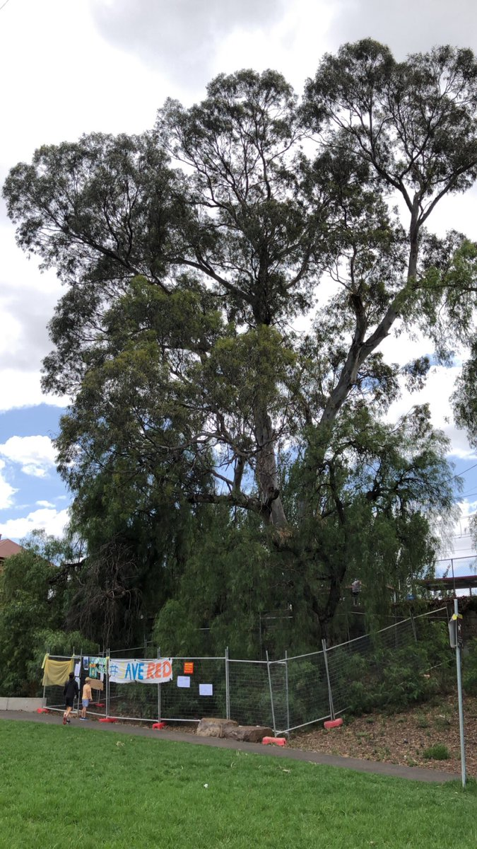 100+ years old River Red Gum at Newmarket station, plus 9 other trees, proposed to be removed by Metro this weekend. The Dept of Transport has not published any evidence that the tree cannot be retained, and Moonee Valley City Council's arborist found that the tree was low risk. <br>http://pic.twitter.com/42qoNQEDWt
