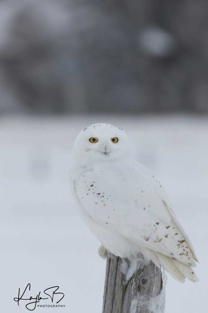 When you're at red light, notice a new snowy owl on pole , pull over safely & it lands on a fence post beside your car hunting!! this happened..so quickly at sunset (but was cloudy).. amazing moments this winter so far; so glad I had camera w/ me #snowyowl #birding #birdwatching<br>http://pic.twitter.com/bMt1N3Ybgq