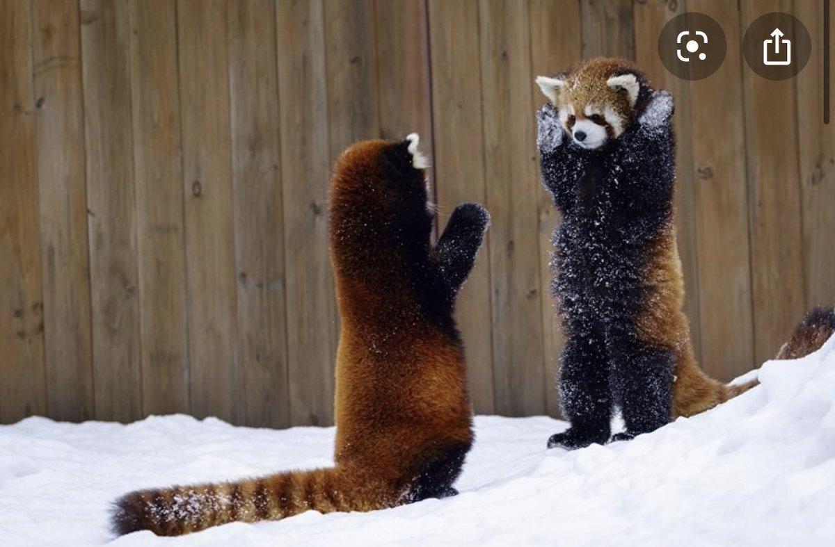 レッサーパンダの威嚇が可愛すぎる件