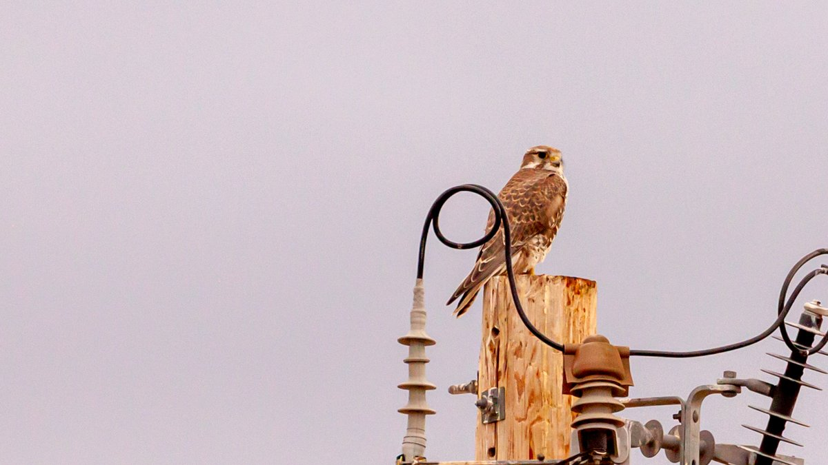 Added 3 species to #birding year list today. Number 65 was Prairie Falcon (Falco mexicanus) atop powerpole along country lane. Barn photo for habitat context. <br>http://pic.twitter.com/5EtEfX6ZLM