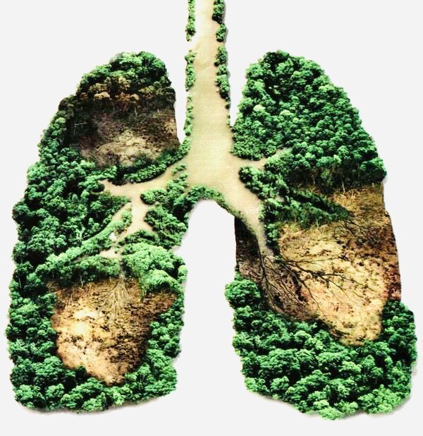 #LungsOfTheEarth   #TREES are sometimes called the lungs of the #Earth because they absorb pollutants through their leaves, sequestering and filtering contaminants in the air. Like all green plants, trees also produce #Oxygen through photosynthesise.  #GreenIndiaChallenge  <br>http://pic.twitter.com/G4hoqbG8E6