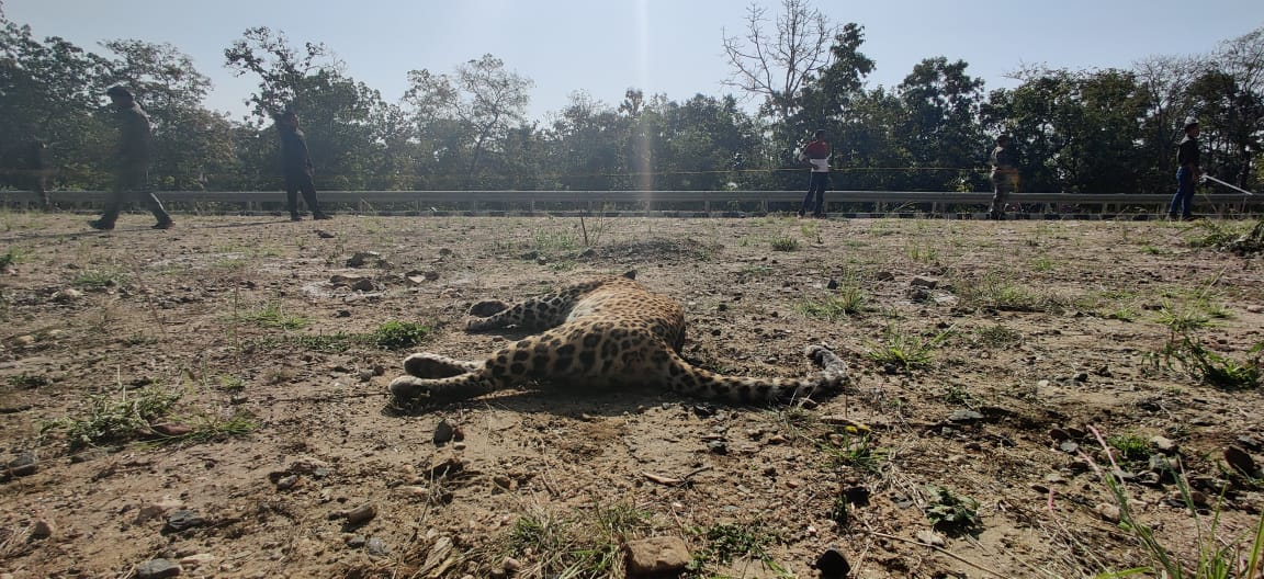 A female leopard knocked dead near Hirnakund nala outside Pench tiger reserve on NH7. The incident once again raises question mark over ineffective mitigation measures. @MahaForest @uddhavthackeray @AUThackeray @vikaskharage @ntca_india @moefcc @nitin_gadkari @NHAISocialmedia