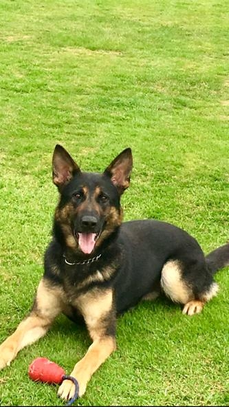 PD Jax defended his dad last night. He Straight chased an offender who assaulted his Dad on a routine traffic stop. The offender was arrested for Possession with intent to supply, after a quantity of class A was found. #dadsprotector @gmpolice