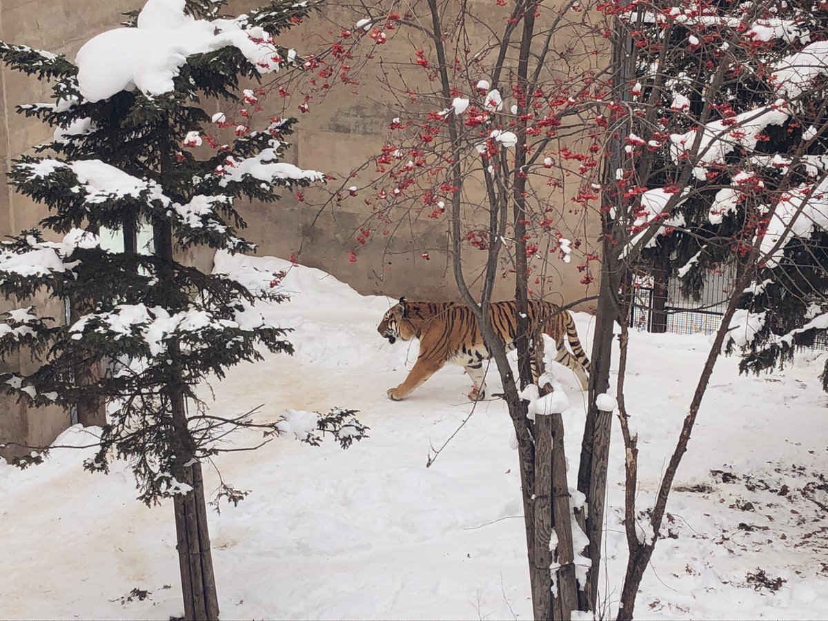 こないだ旭山動物園行った時に撮ったこのトラちゃん、ちょっと掛け軸みたいじゃない?