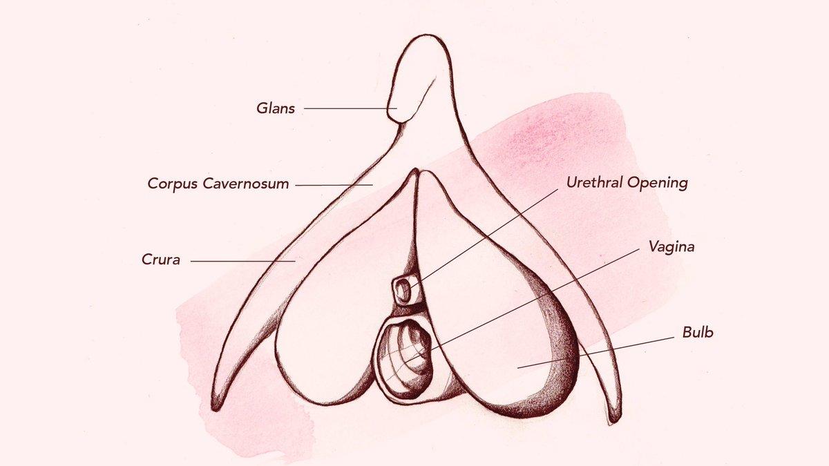 Clinical Anatomy Of The Vulva, Vagina, Lower Pelvis, And Perineum