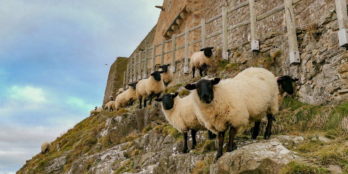 What are 'ewe' planning this weekend? #weekendplans #lindisfarne #sheep<br>http://pic.twitter.com/ZIMfVkL6MT