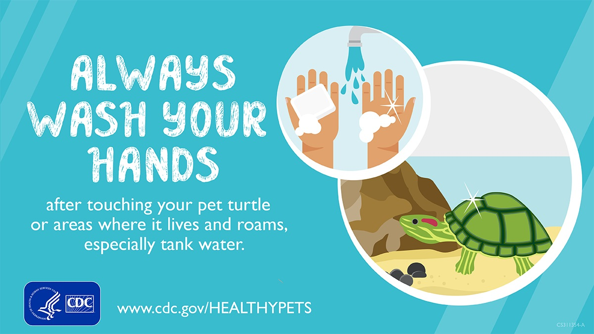 test Twitter Media - OUTBREAK ALERT: 34 Salmonella illnesses in 9 states after contact with small pet turtles. Do not buy turtles <4 inches long—they are illegal to sell. Always wash your hands after touching any turtle or its environment. Learn more: https://t.co/ZHyZm9mODt. https://t.co/qmR8s2wX4H