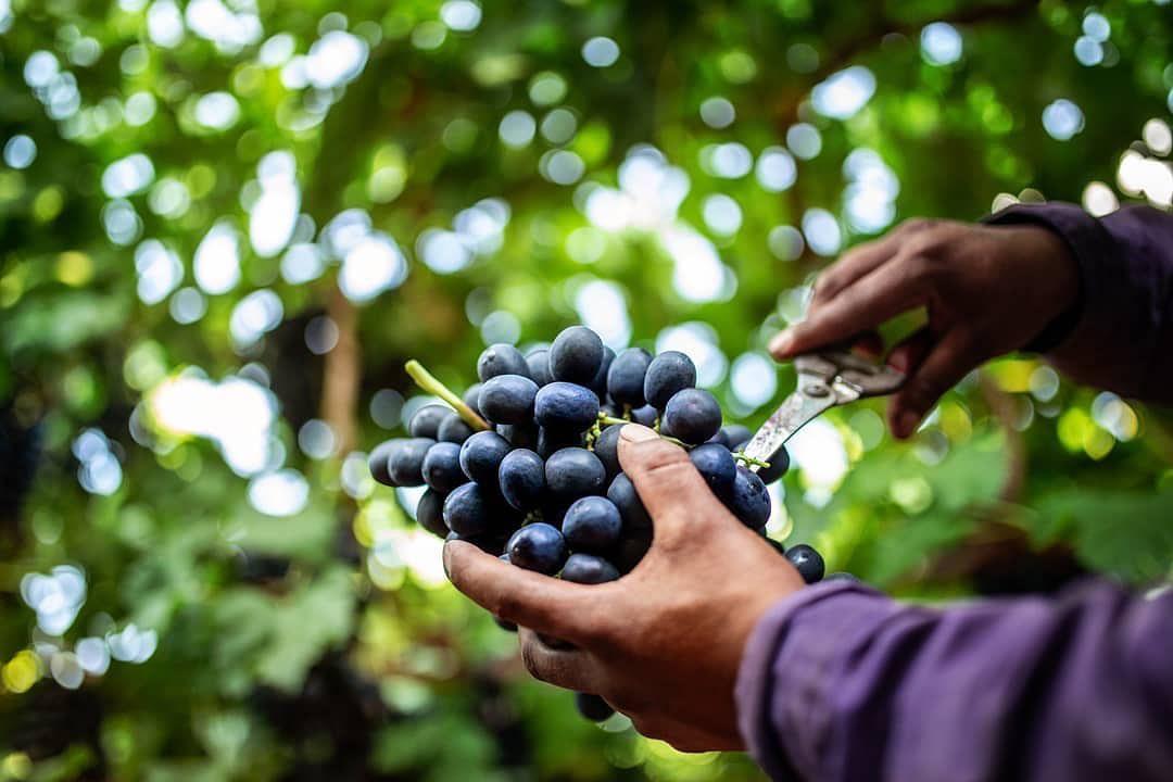 El corte de las uvas requiere un cuidado especial y nuestros colaboradores reconocen la forma, color y textura que estas deben tener para garantizar su delicioso sabor. 🍇✔️..#MolinaQuality #MolinaGrapes #GrapeSeason #MolinaGroup #Grapes #Agriculture @nativesmx