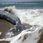 Image for the Tweet beginning: Three gray whales have died