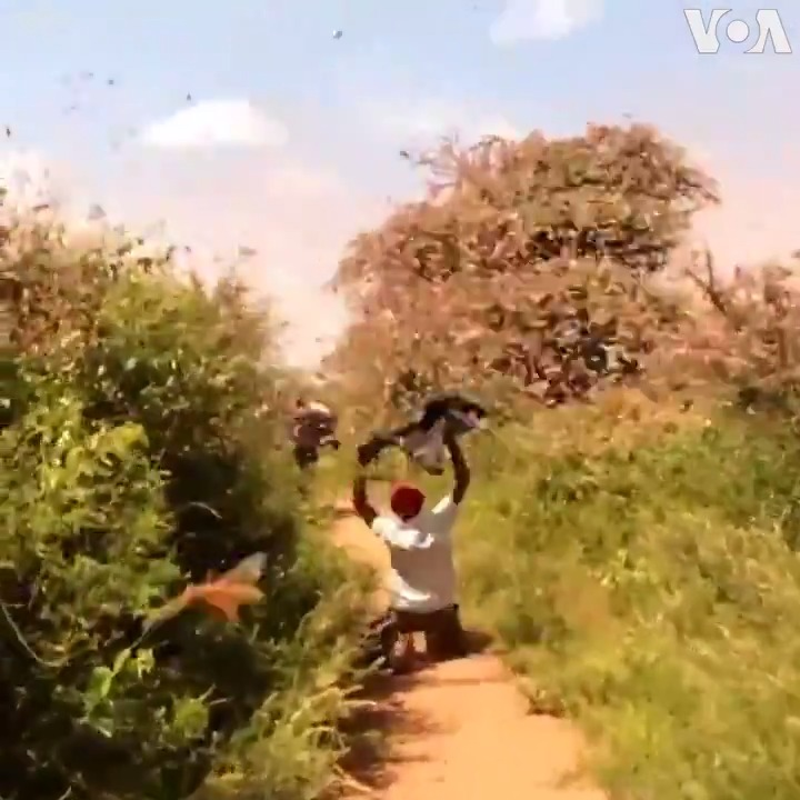 Plague of Locusts Attacking Crops in Horn of #Africa #agriculture #ClimateEmergency
