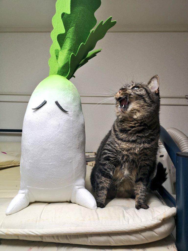 兄者の大根の大きさ気になる人いると思うのでウチの猫横に置いときますマジでデカいです