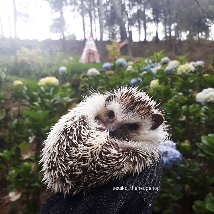 RT @daily__hedgehog: Saturday 25th January, 2020 https://t.co/2dOl4uXq21