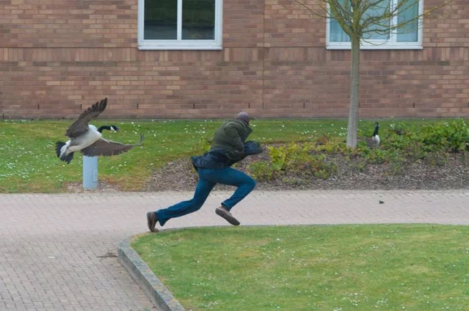 We've introduced Wellness Geese to campus to help students de-stress during the exam period.