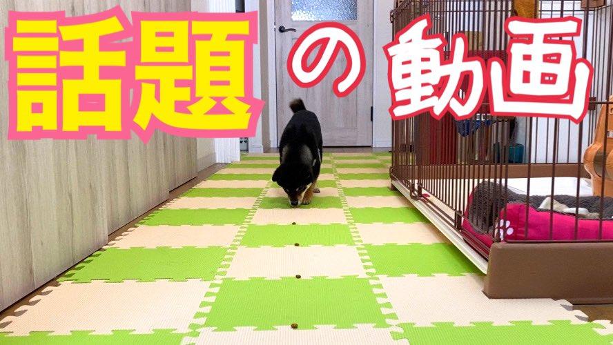 あのワンちゃん動画で話題のやつやってみました❣️めちゃくちゃかわいい〜💕←親バカ❤️😍(笑)👇動画はこちら👇#柴犬 #豆柴 #shibainu #柴犬を崇めよ