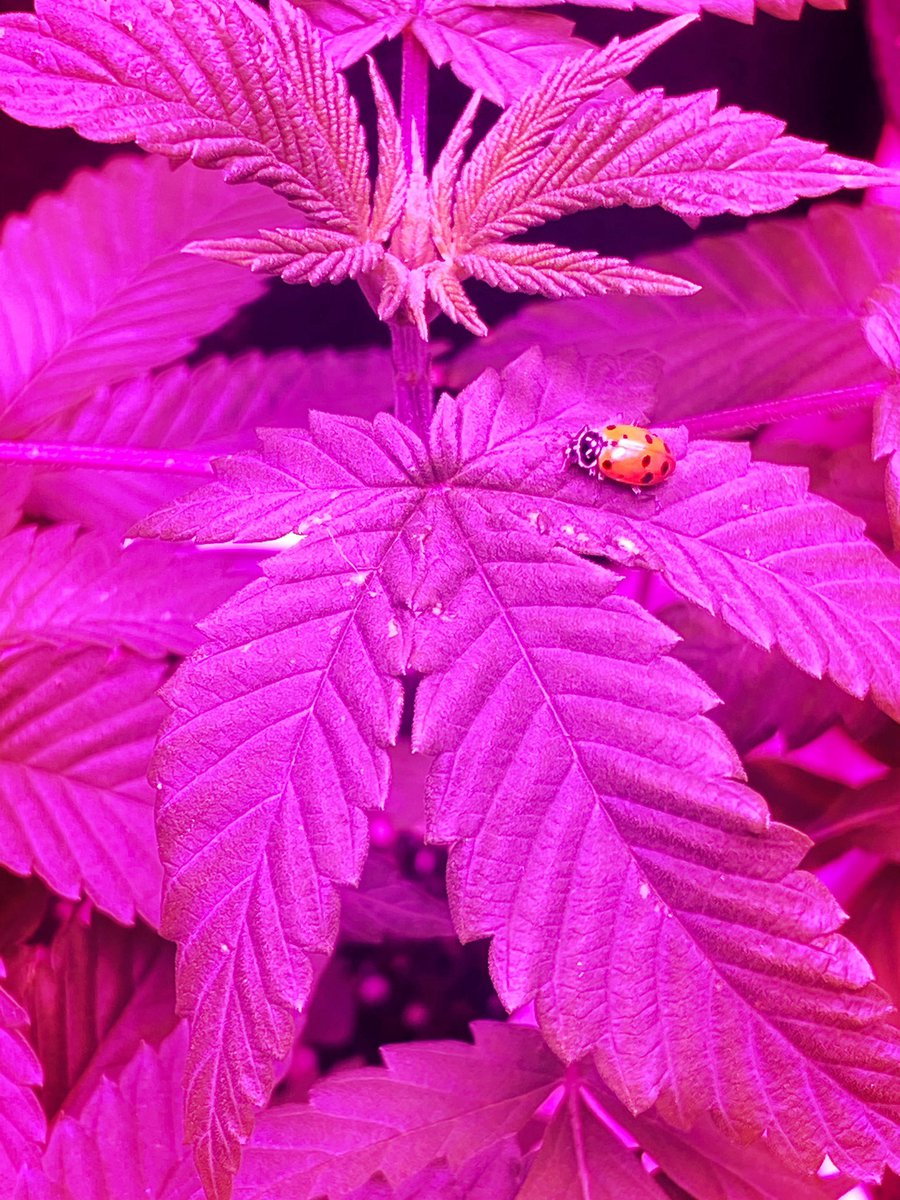 Ladybug on a pot leaf. #noedits #nofilters #iPhone11ProMax #weedlife #indoorgrowing #CannabisCommunity #northerncalifornia pic.twitter.com/kD4QHIs2kI