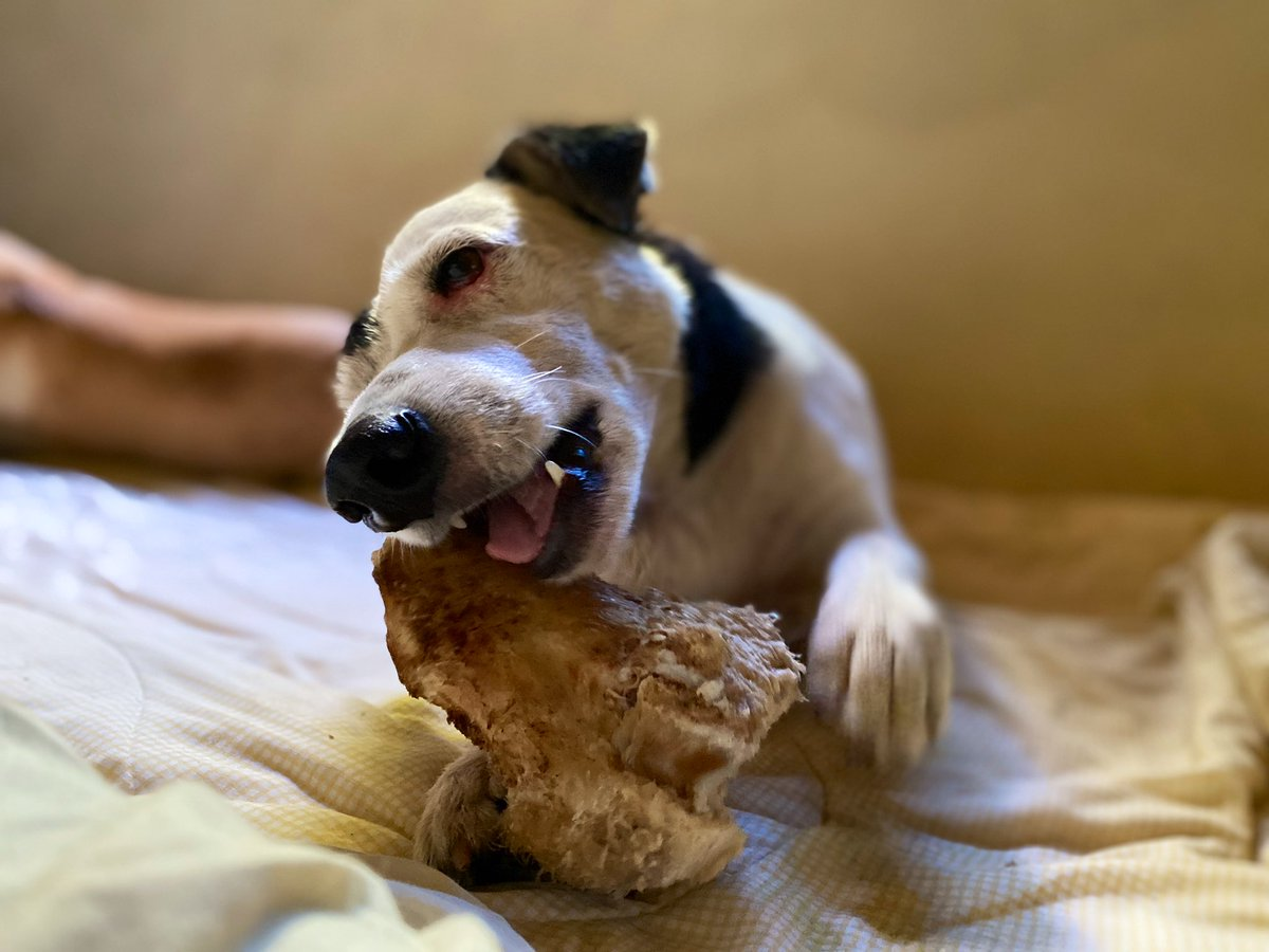 Only one who's managed to #smile while trying to get as much as he can outta his #treat - #nakoro old boy Mr #Cuba enjoying his #suva #bone ... #fiji #furbabies #islandboys