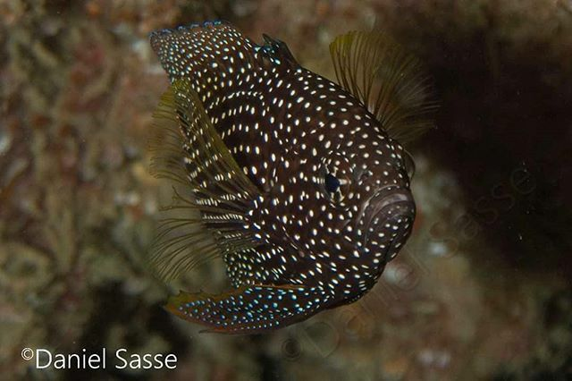 Portrait of the very rare and shy comet or marine betta (Calloplesiops altivelis). Taken by #Underwaterphotographer #DanielSasse #yourshotphotographer #Scubadiving #Aonang #Krabi #photooftheday #Marinelifeprotection #Ouroceans #Underwaterphotography #nat… https://ift.tt/2Rw8wJjpic.twitter.com/5WYqK728gz
