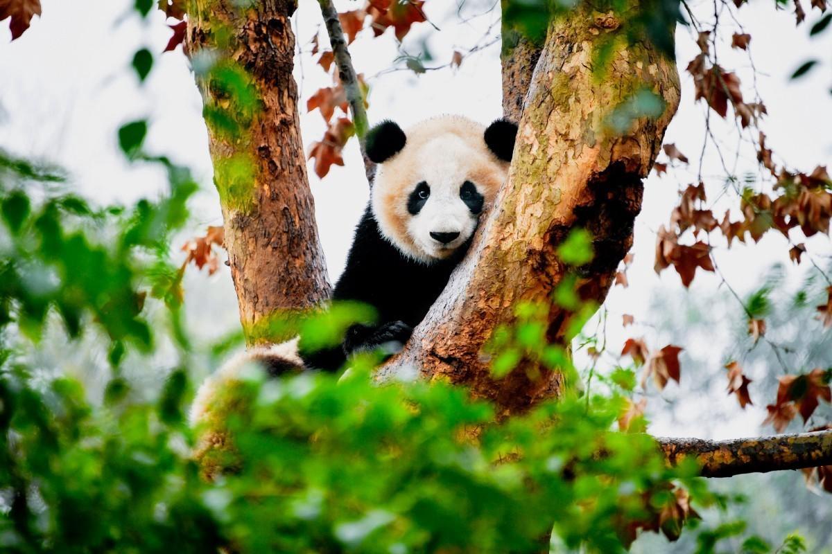 Os pandas  são um símbolo global  de conservação da vida selvagem.  #VocêSabia que:  Ele ainda encontra-se listado como ameaçado na Lista Vermelha de Espécies da @IUCN?  Proteger os pandas significa proteger toda a fauna e a flora que se encontram nas florestas de bambu.pic.twitter.com/BLbkjxcJy7