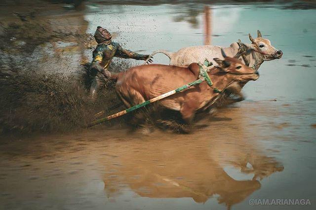 "- @iam.arianaga - ""Pacu Jawi"" 25 January 2020 . . . . . . . . . . . . . . #mud #lumpur #photooftheday #TanahDatarTourism #explorebatusangkar #nature #pacujawi #pacujawitanahdatar #indonesia #minangkabau #mud #instagram #phototrip #hipaae #hipa…"