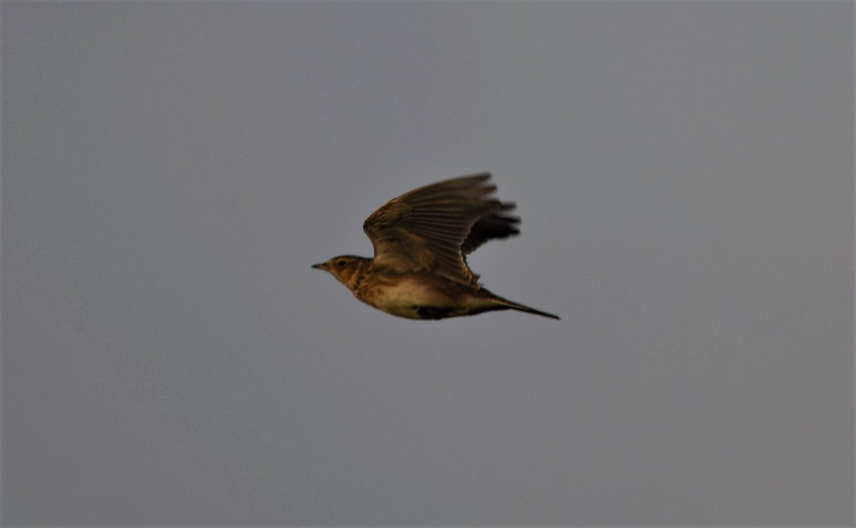 No's 67 to 70 Skylark,Teal,Dipper and at last managed to find a few Twite on the Northumberland coast #2020list<br>http://pic.twitter.com/qqea6ouULW