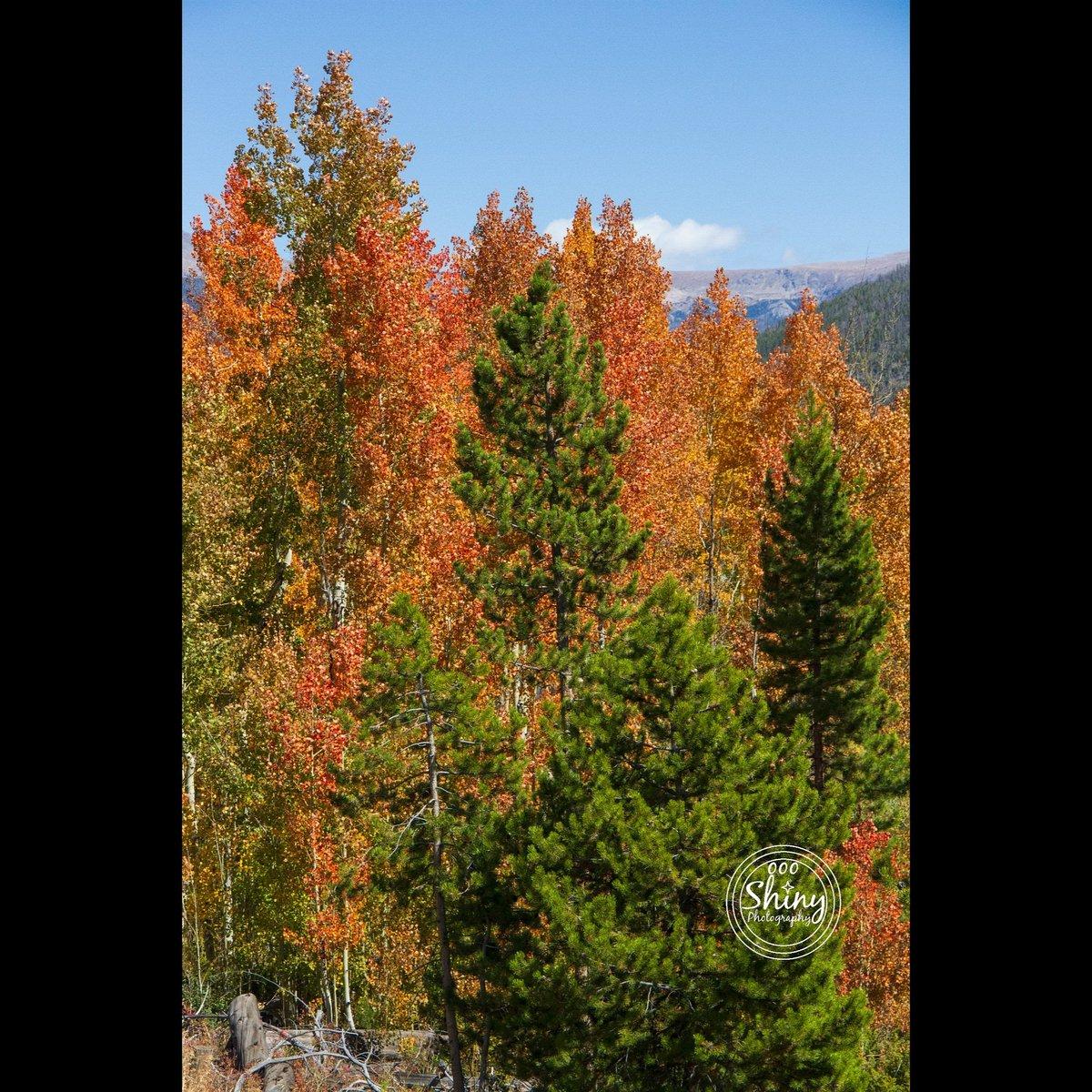 #Trees of #fall.9-22-19, near #GrandLake, #Colorado.#Canon 7D F/10 67mm 1/1600s ISO-1000#oooShinyPhotography #oooShinyPhotos #oooShiny#fallcolors #fallleaves #treephotography #autumncolors #autumnleaves #autumn #TeamCanon #photooftheday #CanonFavPic #MyCanonStory